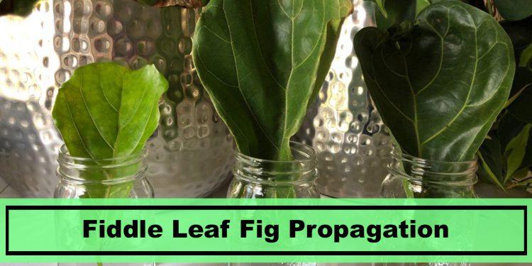 best tips for fiddle leaf fig propagation