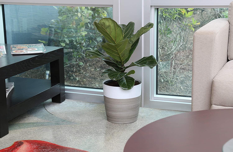 fiddle leaf fig tree natural planter