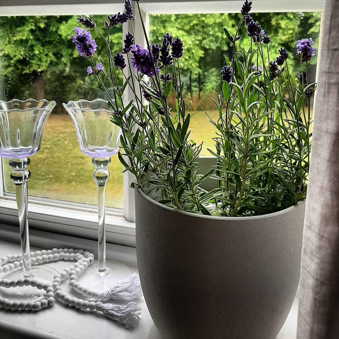 plant of lavender