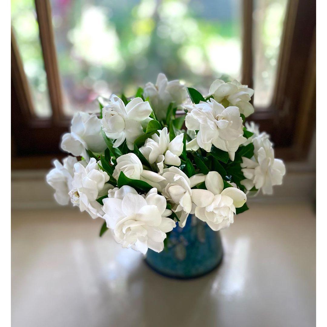 Gardenias plant
