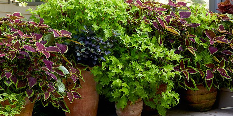 coleus plant growing and caring