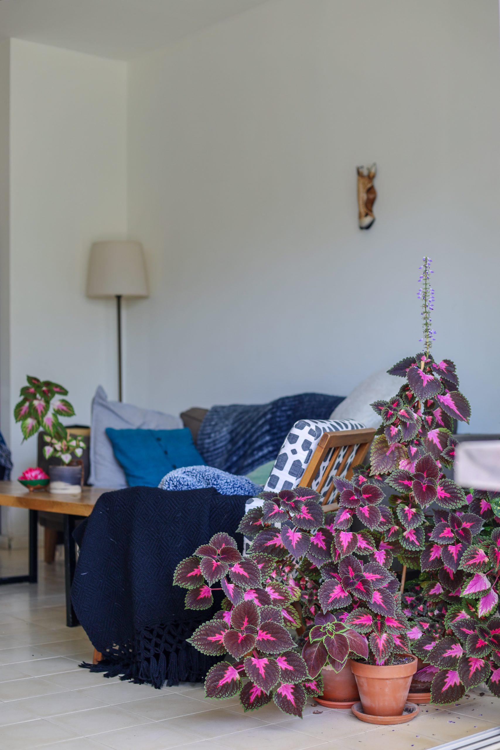 houseplant coleus plant