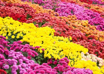 field of different color chrysanthemum