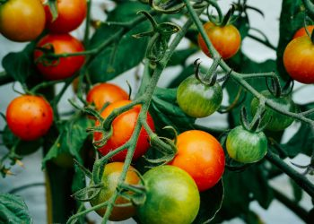 ripen green tomatoes from vine