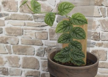 growing monstera dubia and plant care