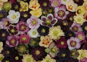 different variations of hellebore multi color flowers