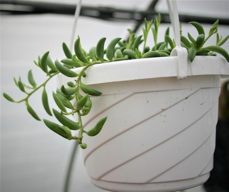 close view of string of bananas succulent plant