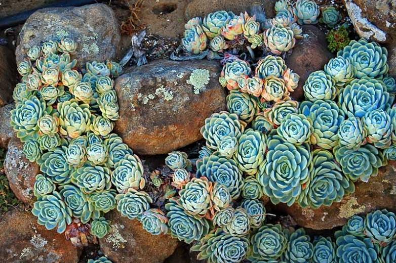 lots of echeveria elegans surrounding rocks