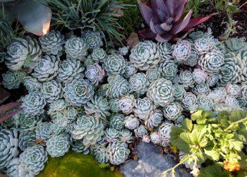 garden of echeveria elegans mexican snowball succulent plant