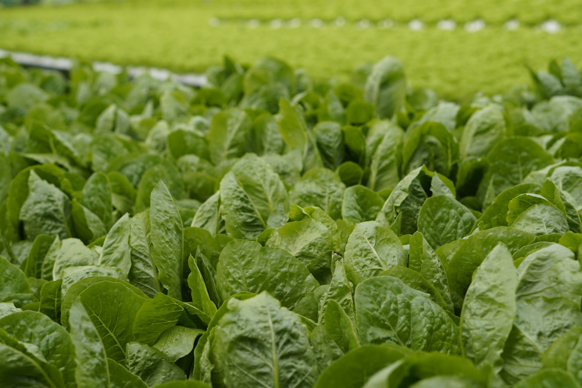 field full of spinach leaves