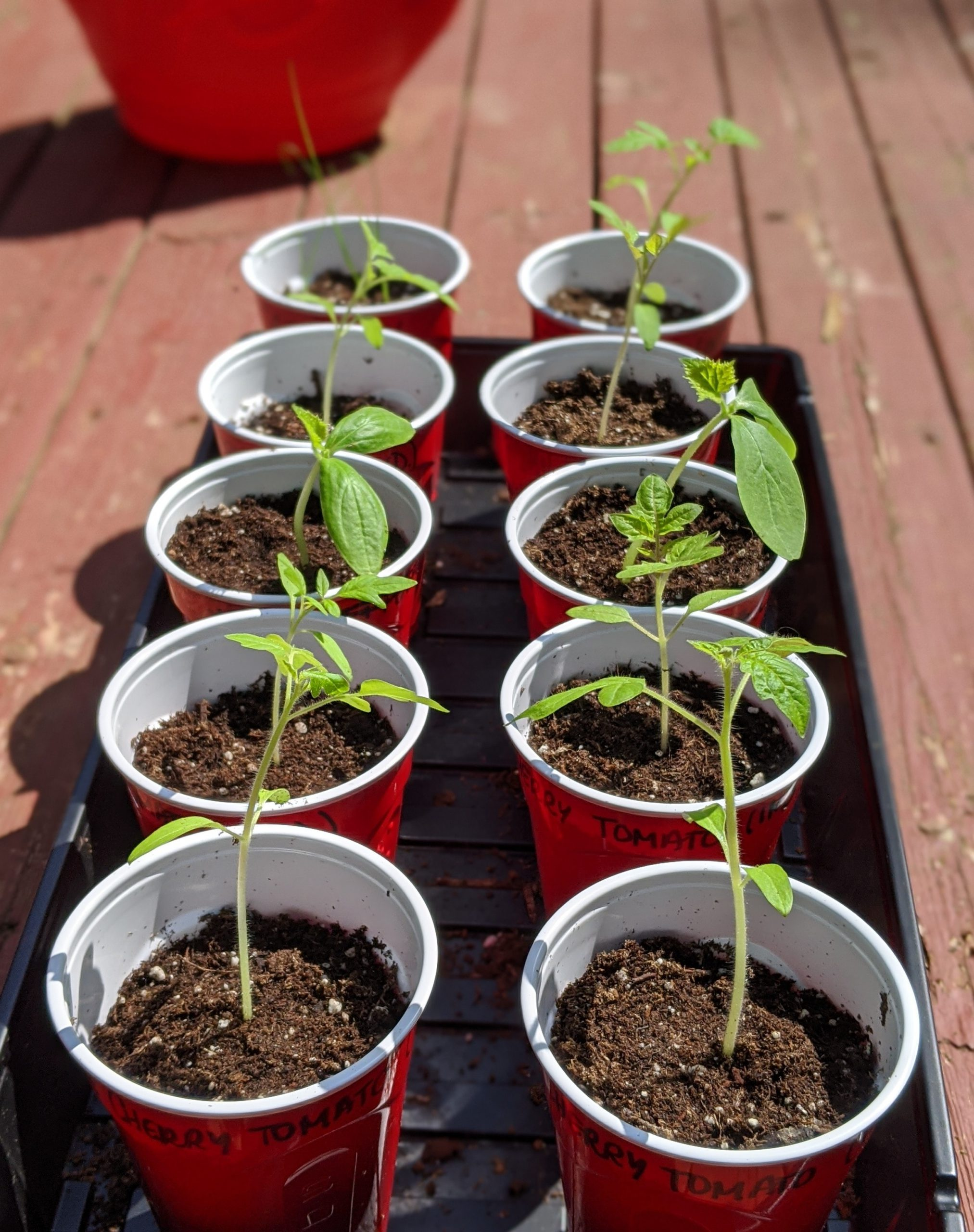 growing tomatoes in a red cup