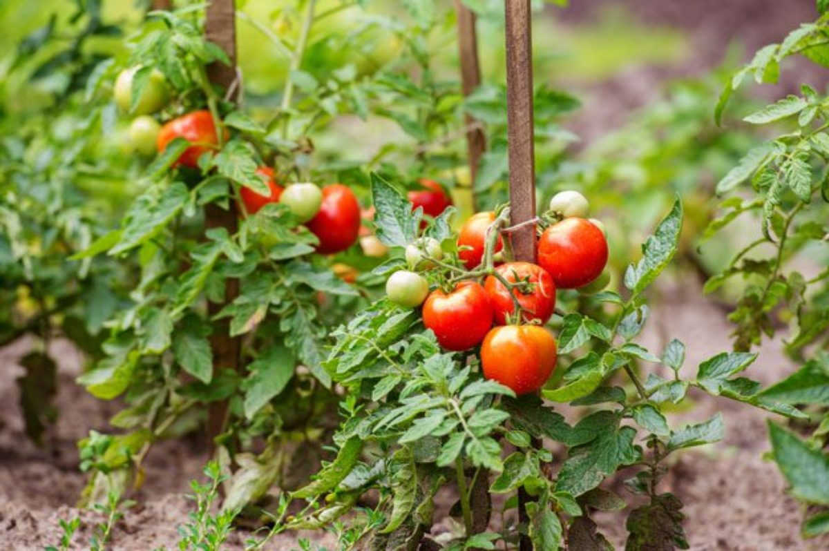 green and red tomatoes outdoors growing