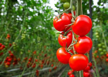 tomatoes on vines growing outdoors in a garden