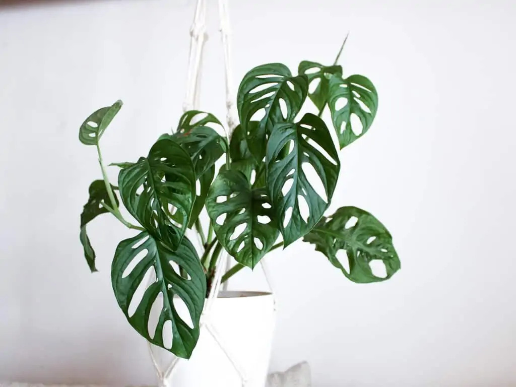 monstera adansonii in white pot hanging