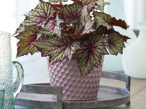 houseplant rex begonia growing guide
