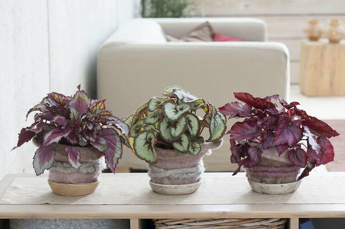different variations of rex begonia houseplant - Begonia Rex-Hybriden 'Spitfire' links, 'Mikado' Mitte, 'Red Bull' rechts