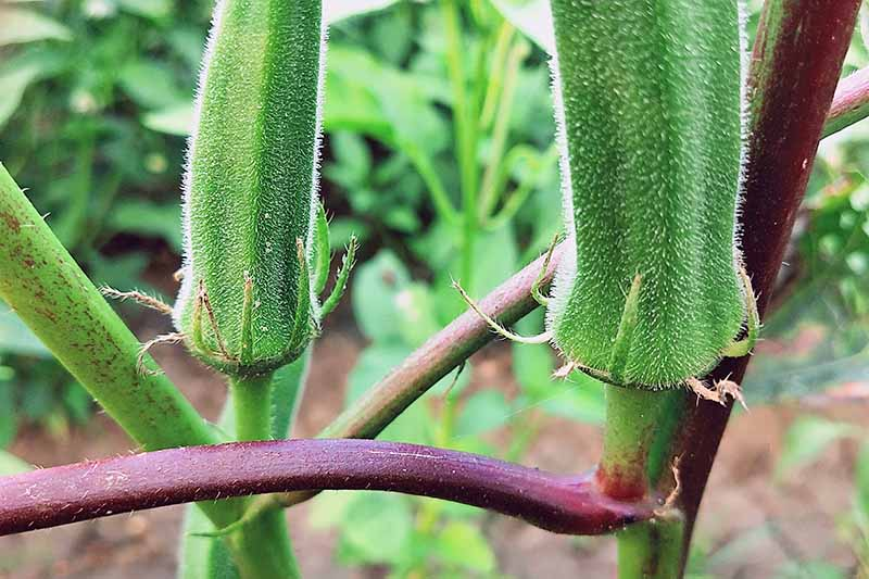 growing okra in the summer, okra plant