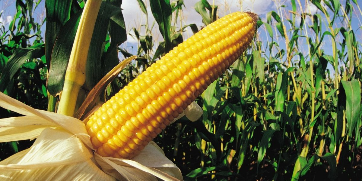 sweet corn in the summer