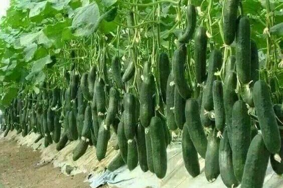 lots of cucumbers growing from vines