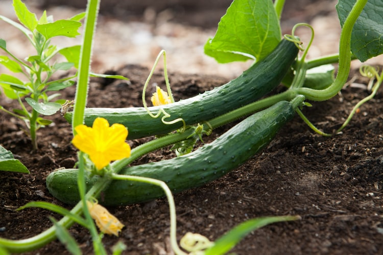 cucumber on the soil ground with its plants