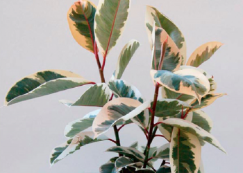 varigated ficus tineke houseplant