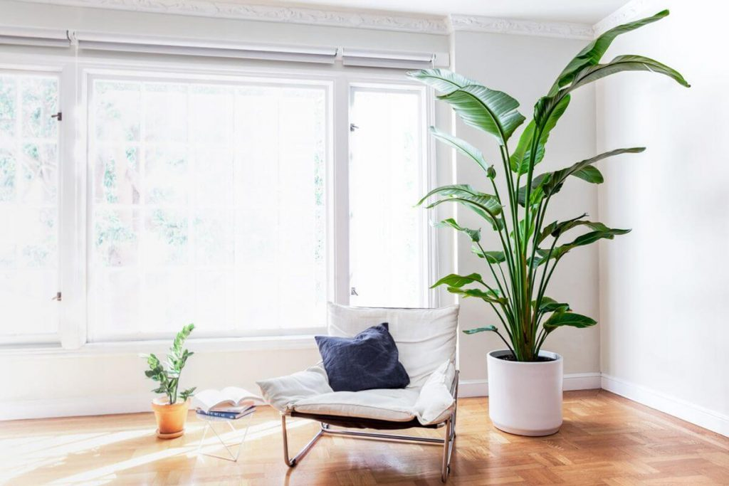 bird of paradise in white ceramic pot with comfy chair