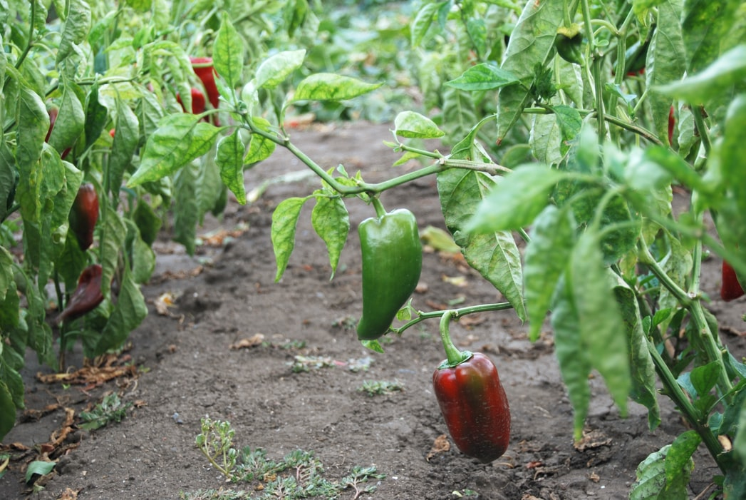 growing bell peppers