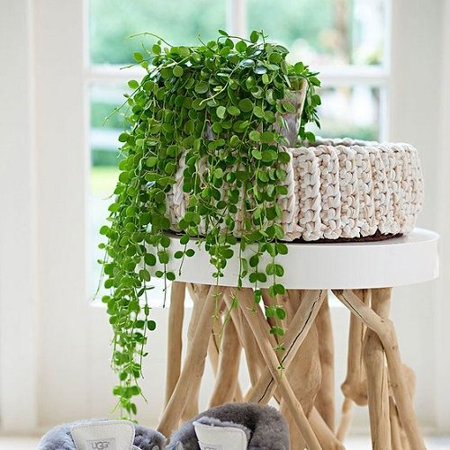 string of nickels houseplant in a planter