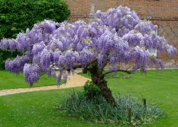 Wisteria Tree – Growing and Planting Tips