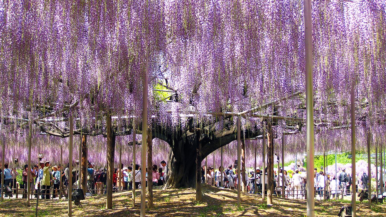 wisteria tree magical