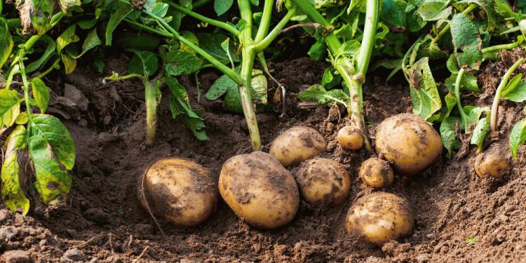 growing potatoes in dirt