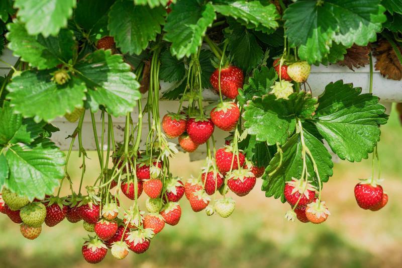 strawberries floating