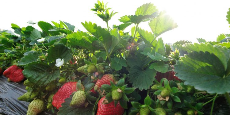 growing strawberries in a field with sun in background