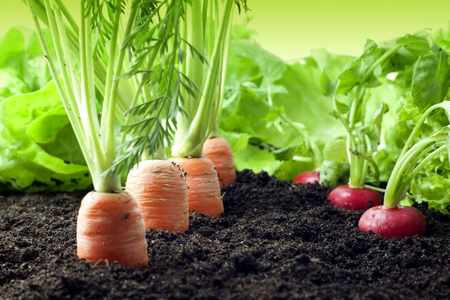 carrots with radish companion plant