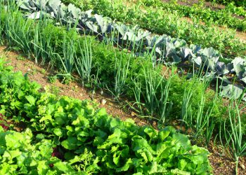 carrots in a garden with companion plants