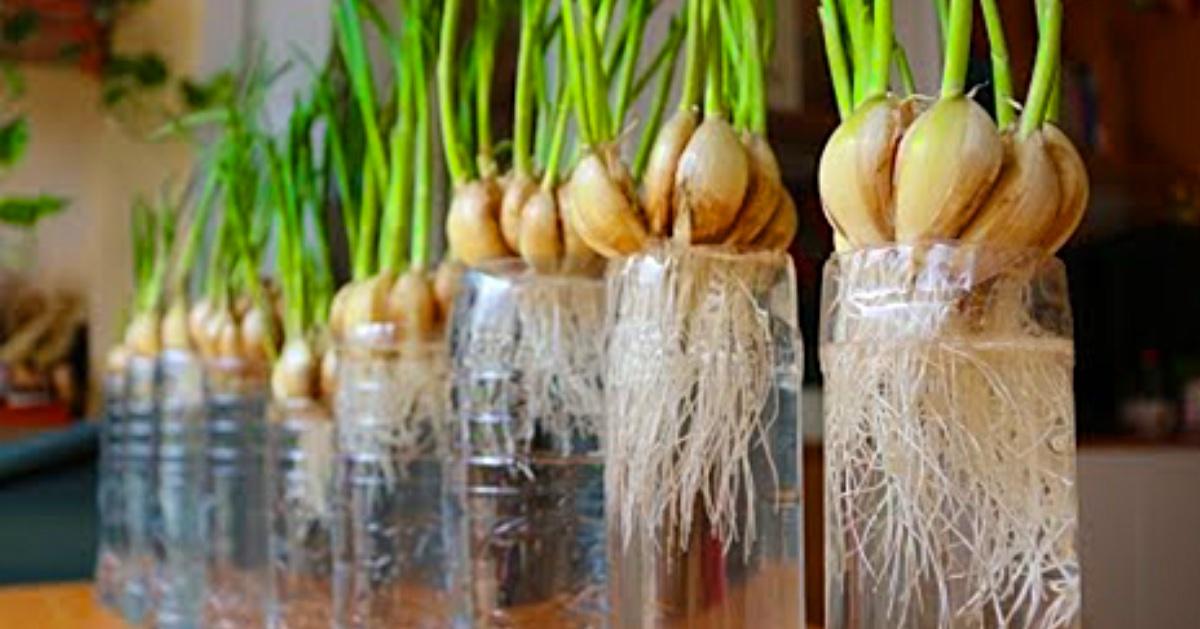 growing garlic at home water propagation