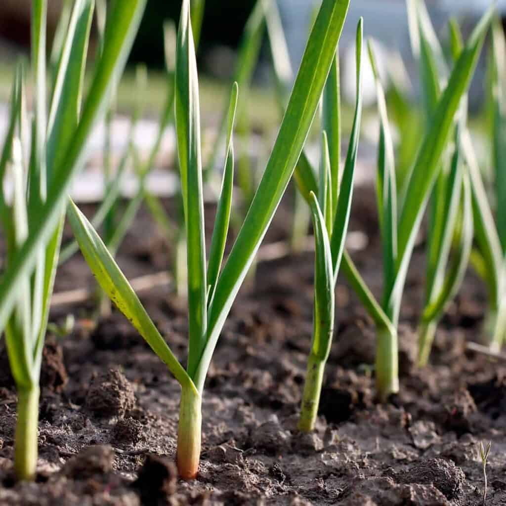 sprouting garlic from the ground
