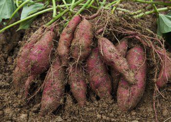 growing sweet potatoes from gardening